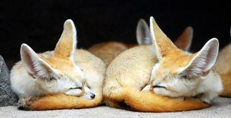 Фото Лисята спят