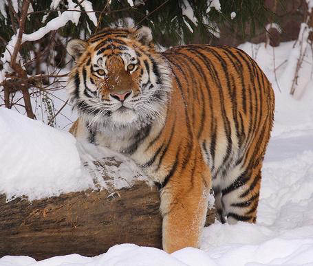 Фото Тигр чешется об бревно (© alcatel), добавлено: 12.09.2011 18:31
