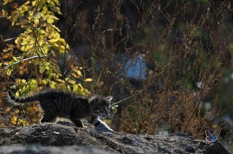 Фото Котёнок охотится на бабочку (© alcatel), добавлено: 12.09.2011 18:41