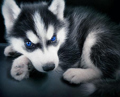 Фото Маленький щенок (© alcatel), добавлено: 12.09.2011 18:44