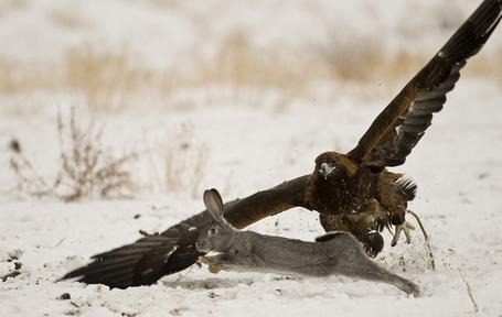 Фото Ястреб охотится за зайцем (© alcatel), добавлено: 12.09.2011 19:30