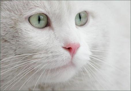 Фото Белая кошка (© alcatel), добавлено: 13.09.2011 22:28