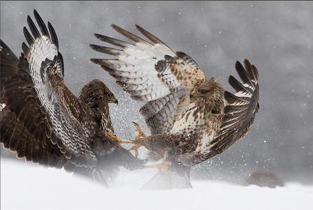 Фото Битва ястребов (© alcatel), добавлено: 13.09.2011 22:34