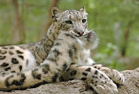 Фото Леопард кусает свой хвост (© alcatel), добавлено: 13.09.2011 22:36