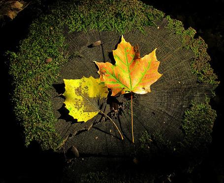 Фото Кленовый и осиновый осенние листья лежат на пне (© Штушка), добавлено: 15.09.2011 01:58