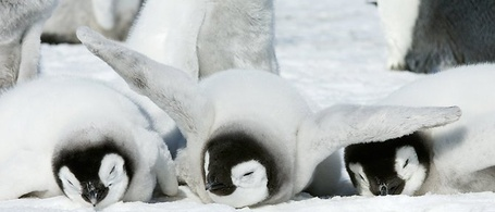 Фото Три детеныша  пингвина лежат в обнимку (© Lola_Weazlik), добавлено: 15.09.2011 11:07