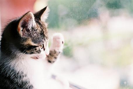 Фото Котенок стучит по стеклу лапой (© Радистка Кэт), добавлено: 16.09.2011 22:12