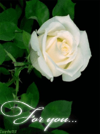 Фото Белая роза (For you) (© tanysha3331), добавлено: 18.09.2011 17:34