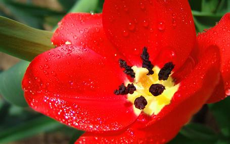 Фото Ярко-красный тюльпан, омытый каплями дождя (© Хоро), добавлено: 20.09.2011 14:47