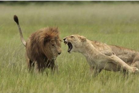 Фото Львица что-то не поделила со львом