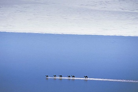 Фото Верблюды идут вереницей по воде (© alcatel), добавлено: 30.09.2011 14:00