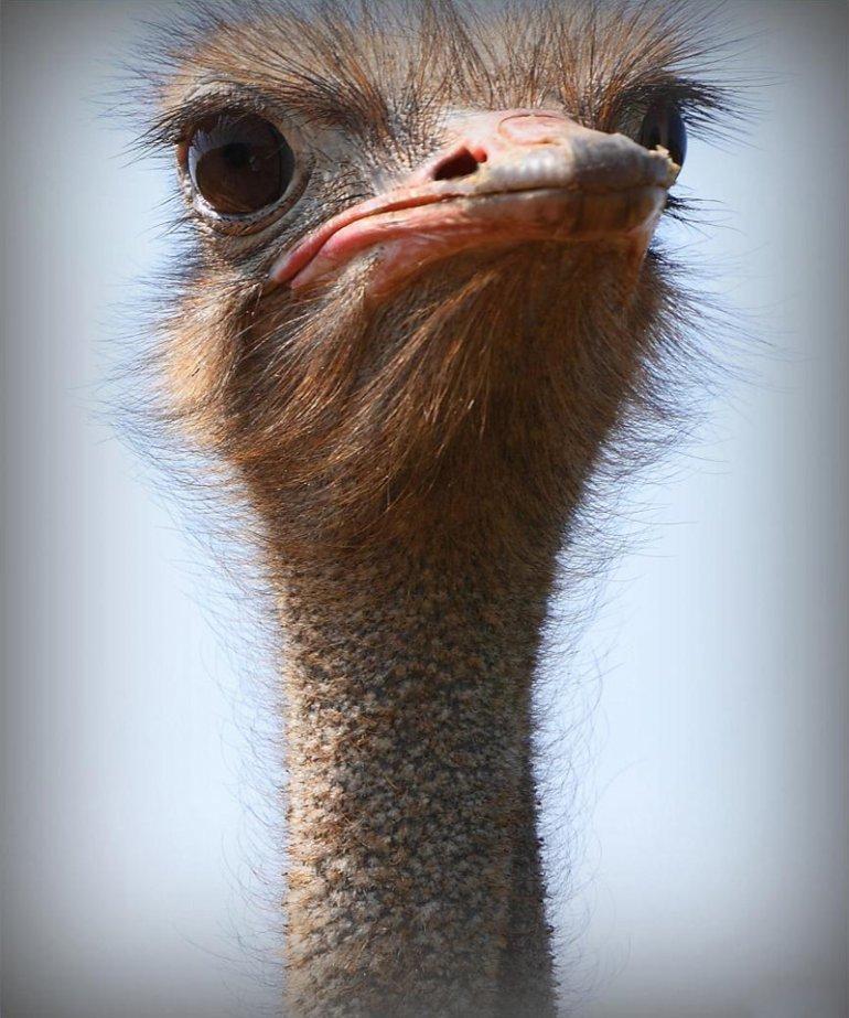 Открытки любовью, прикол с картинками страуса