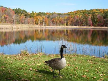 Фото Гусь на берегу озера (© Штушка), добавлено: 03.10.2011 00:41