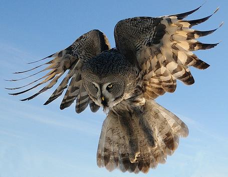 Фото Сова с сжатыми крыльями (© alcatel), добавлено: 03.10.2011 21:28