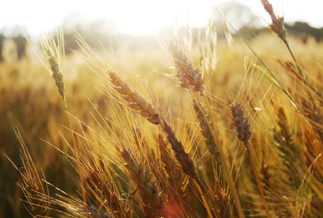 Фото Колоски пшеницы (© StepUp), добавлено: 03.10.2011 21:48