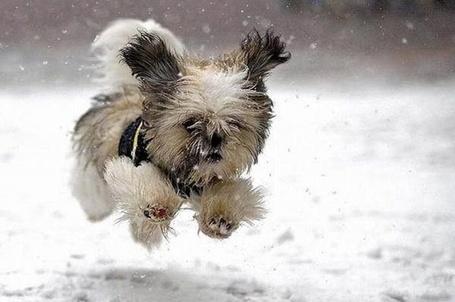 Фото Собачка бежит по снегу (© alcatel), добавлено: 04.10.2011 04:36