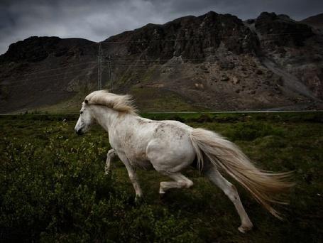 Фото Белая лошадь убегает прочь (© Флориссия), добавлено: 04.10.2011 19:01