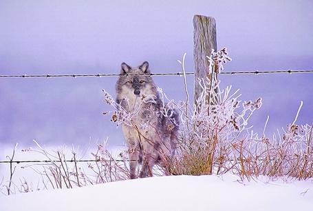 Фото Волк перед изгородью с колючей проволокой (© alcatel), добавлено: 05.10.2011 04:42