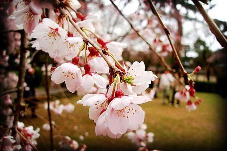 Фото Цветущая вишня (© Юки-тян), добавлено: 05.10.2011 17:18