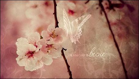 Фото Бабочка на цветах вишни (в мыслях о весне)