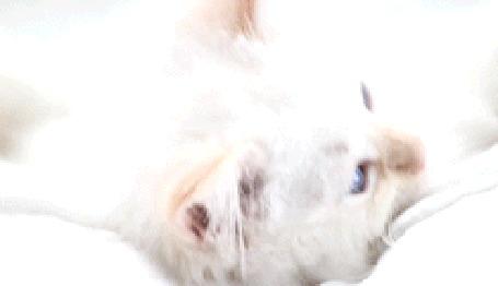 Фото Кот тянет лапки (© Krista Zarubin), добавлено: 07.10.2011 19:25