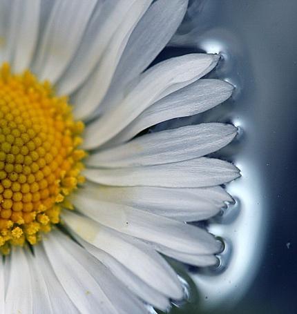 Фото Ромашка (© Юки-тян), добавлено: 09.10.2011 09:21
