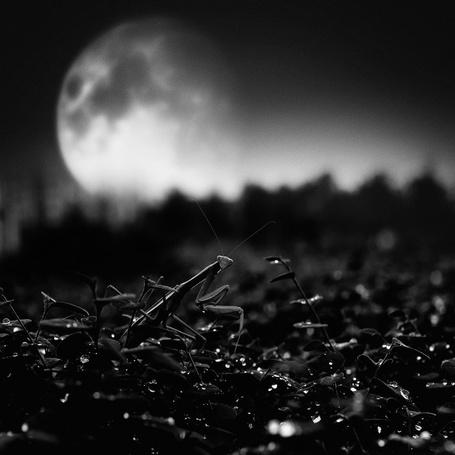 Фото Богомол на фоне огромной полной луны (© Anatol), добавлено: 09.10.2011 23:18