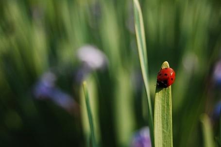 Фото Божья коровка на травинке (© Юки-тян), добавлено: 09.10.2011 23:33
