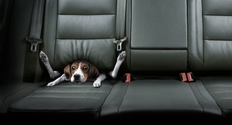 Фото Собака в автомобильном кресле (© alcatel), добавлено: 15.10.2011 21:06