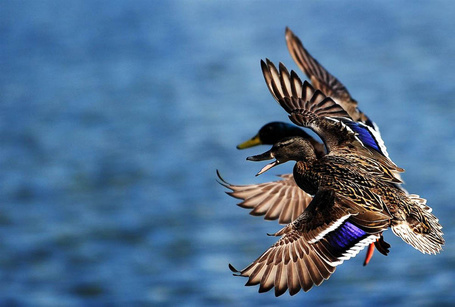 Фото Два летящих гуся