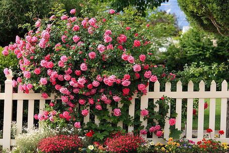Фото Куст чайной розы (© Штушка), добавлено: 28.10.2011 21:25