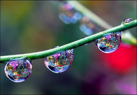 Фото три капли на ветке в которых отражаются цветы (© Morena), добавлено: 31.10.2011 21:04