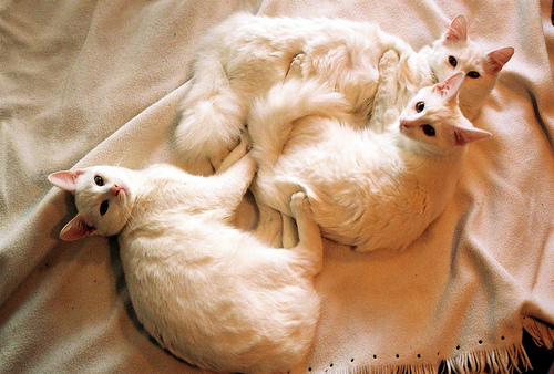 Фото Три белых кота отдыхают