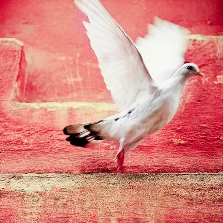 Фото Белый голубь машет крыльями (© Radieschen), добавлено: 01.11.2011 10:52