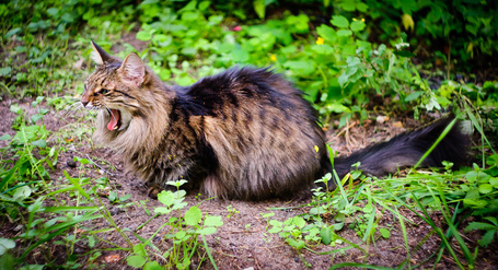 Фото Кот зевает (© alcatel), добавлено: 02.11.2011 21:23