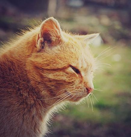 Фото Рыжий кот щурится на солнце (© Радистка Кэт), добавлено: 06.11.2011 04:53