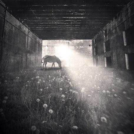 Фото зебра щиплет травку и одуванчики