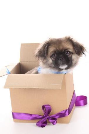 Фото Милый щенок пикенеса в коробке с якрой лентой (© Morena), добавлено: 06.11.2011 18:36