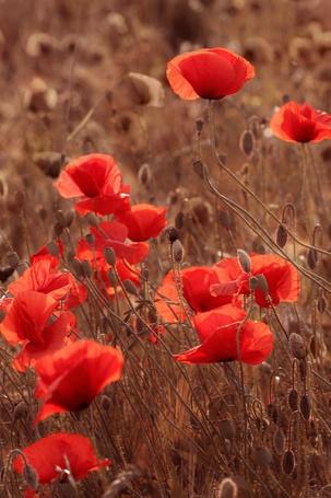 Фото Поле маков (© Radieschen), добавлено: 10.11.2011 00:35