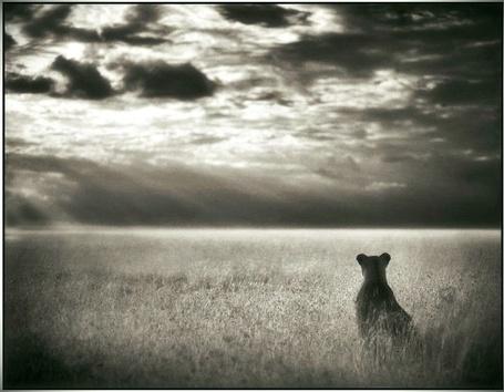 Фото Лев смотрит на небо сидя на большом поле (© Флориссия), добавлено: 11.11.2011 17:28