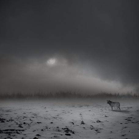 Фото Волк в тайге (© Флориссия), добавлено: 14.11.2011 14:31