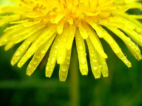 Фото Желтый цветок одуванчика в каплях росы (© Morena), добавлено: 21.11.2011 20:29