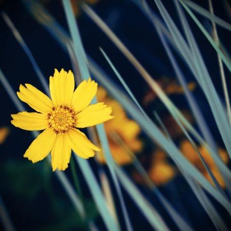 Фото Кореопсис - небольшой желтый цветок (© Radieschen), добавлено: 28.11.2011 05:39