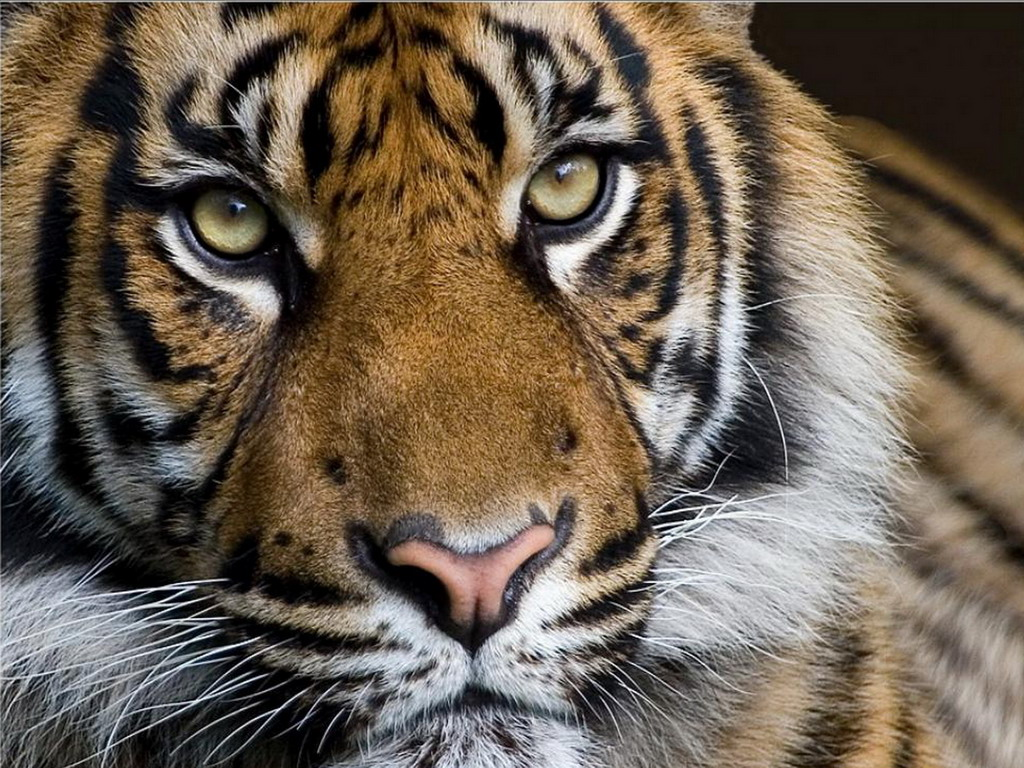 Фото Тигр настороженно смотрит на ...: photo.99px.ru/photos/36092