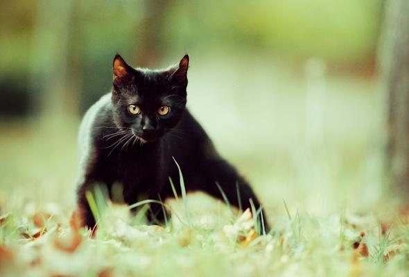 Фото Черный кот крадется по траве