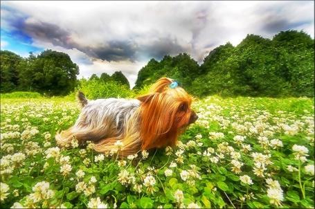 Фото Маленькая собачка на цветочной поляне (© Флориссия), добавлено: 01.12.2011 14:18