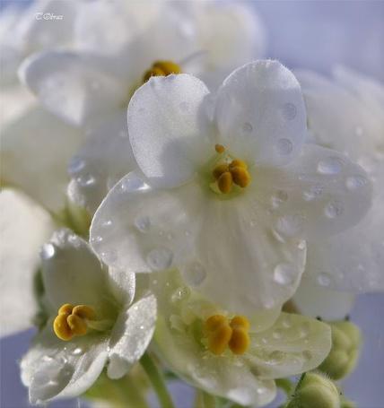 Фото Белые цветы (© Штушка), добавлено: 01.12.2011 15:50