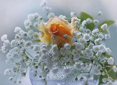 Фото Оранжевая роза с белыми веточками (© Штушка), добавлено: 01.12.2011 15:51