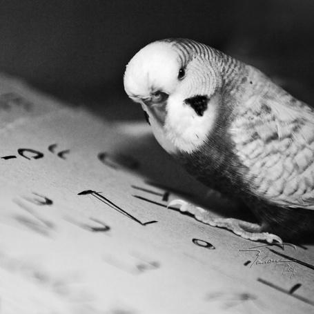 Фото Попугайчик на листке бумаги (© Капитошка), добавлено: 01.12.2011 17:43