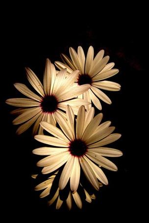 Фото Герберы на черном фоне (© Капитошка), добавлено: 01.12.2011 17:49